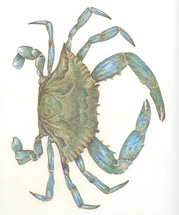 SOLD Blue Crab