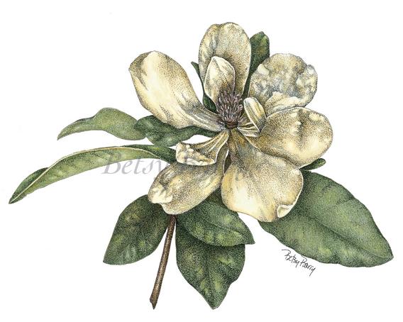Magnolia in Pen & Colored pencil