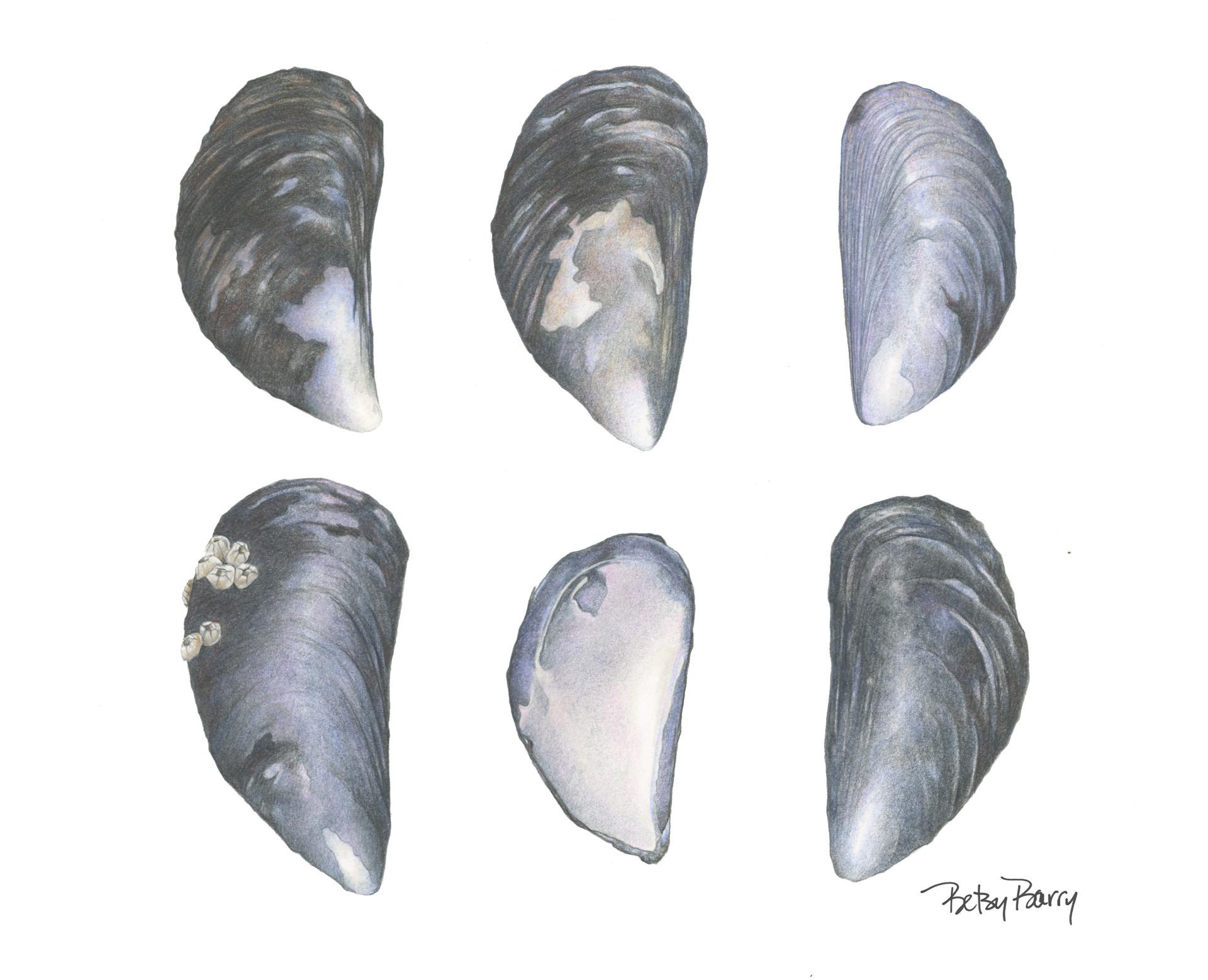 Six Mussels
