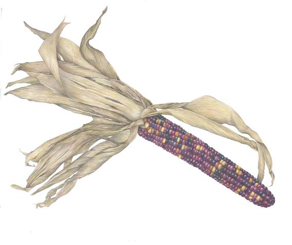 Purple Harvest Corn