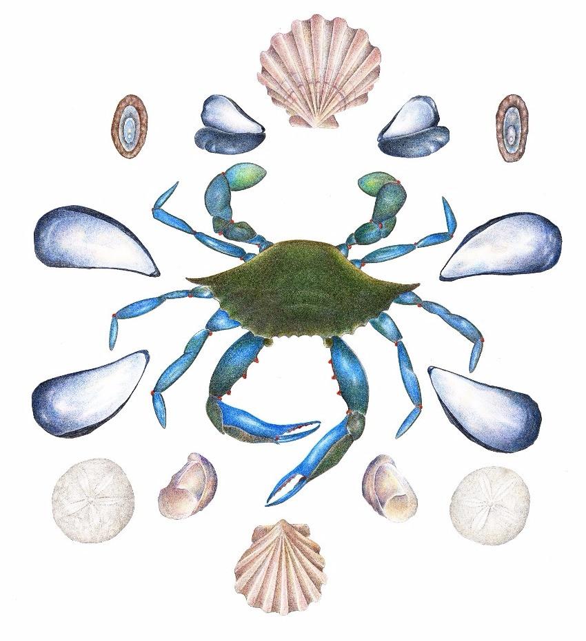 Crab and shells
