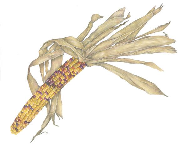 Yellow Harvest Corn