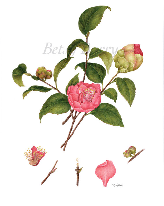 Camellia with Dissection