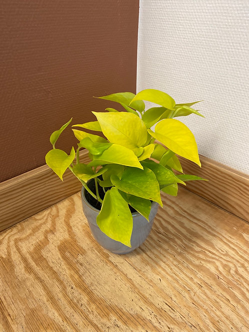 PHILODENDRON LIME