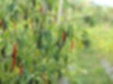 green chilis .jpg