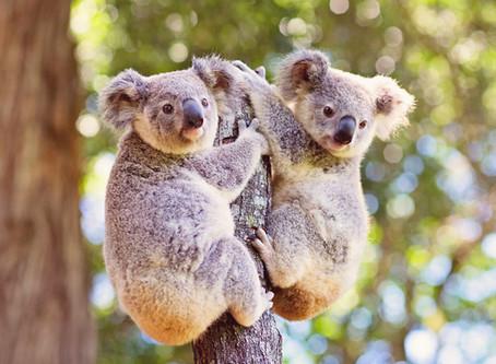 Our famous friend, Arlo the Koala