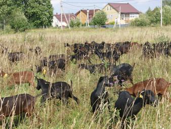 Порода коз Мурсиано Гранадина опубликованы в Государственном реестре селекционных достижений  РФ