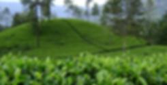 Tea Estate.png