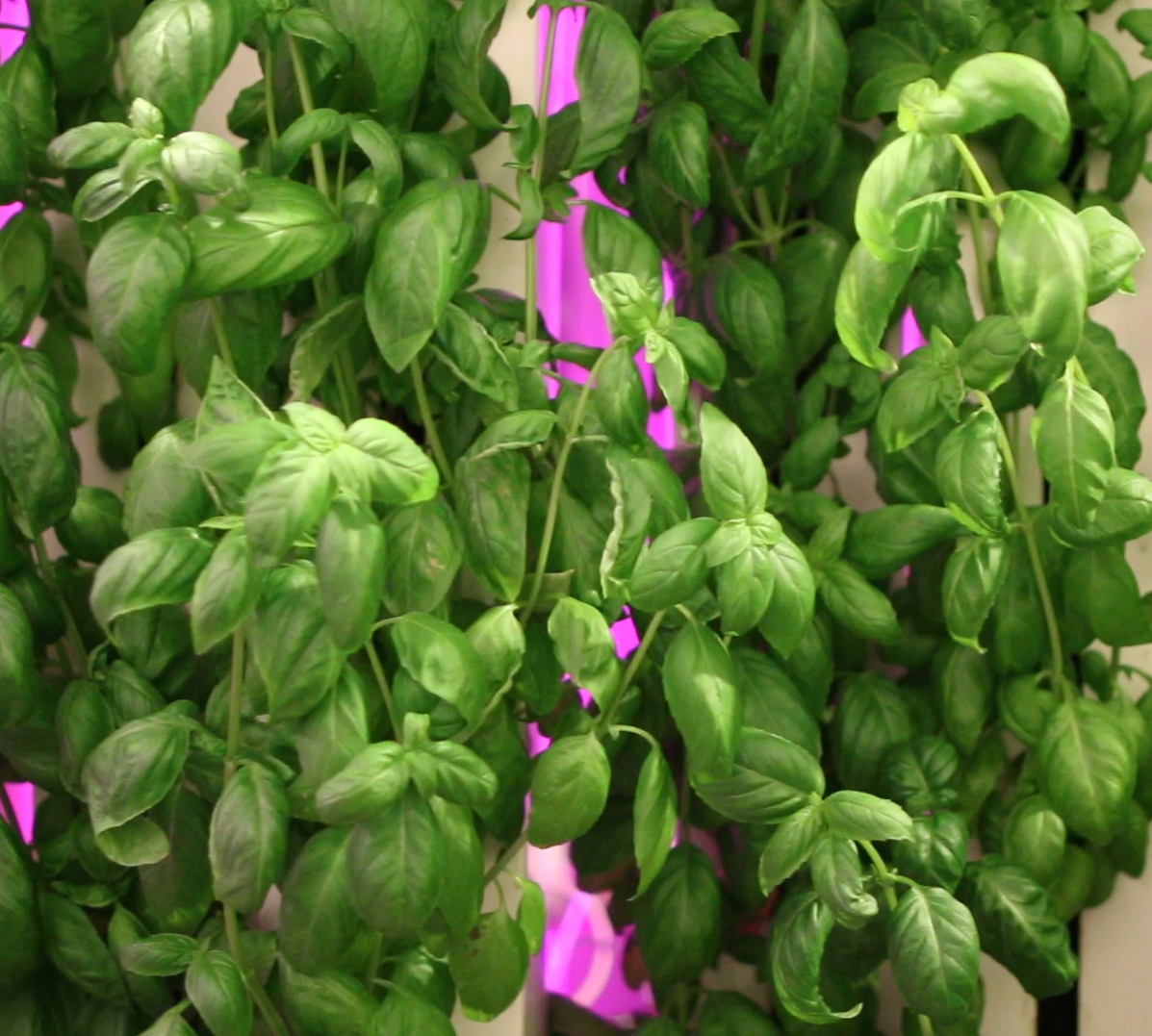 Leafy-Green-Machine-Basil2.jpg