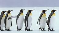 Les pingouins amidonnés