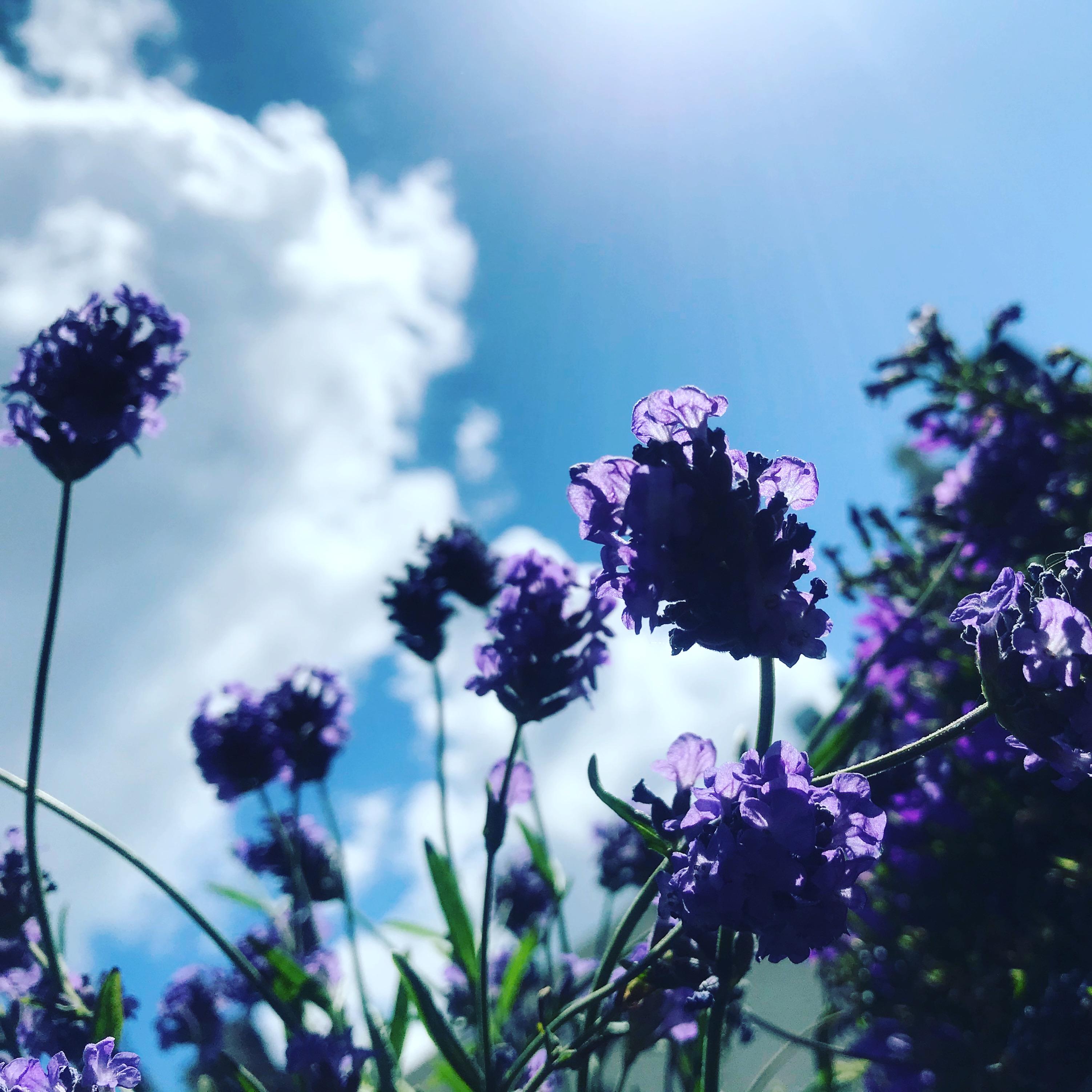 Lavendel van eigen kweek!