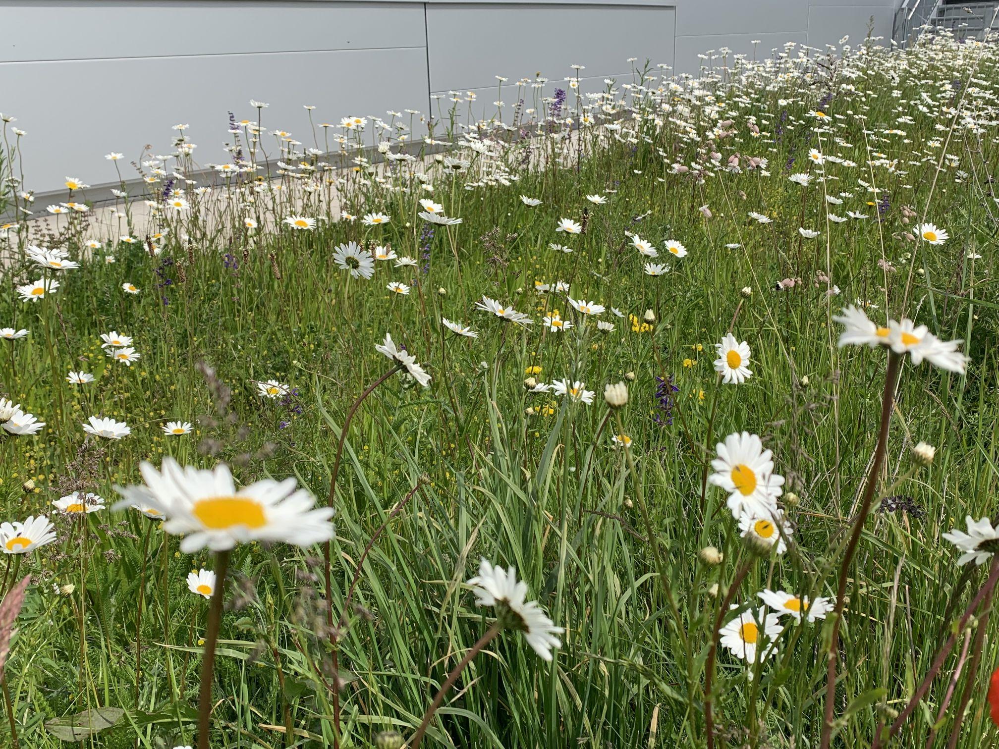 008 - Blumenwiese