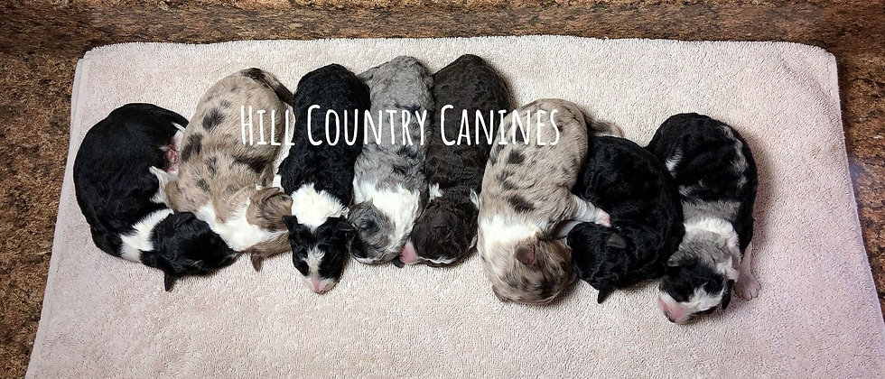 Bluegrass x Huckleberry litter