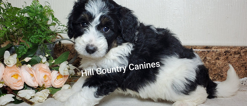 Cora (Reserved)