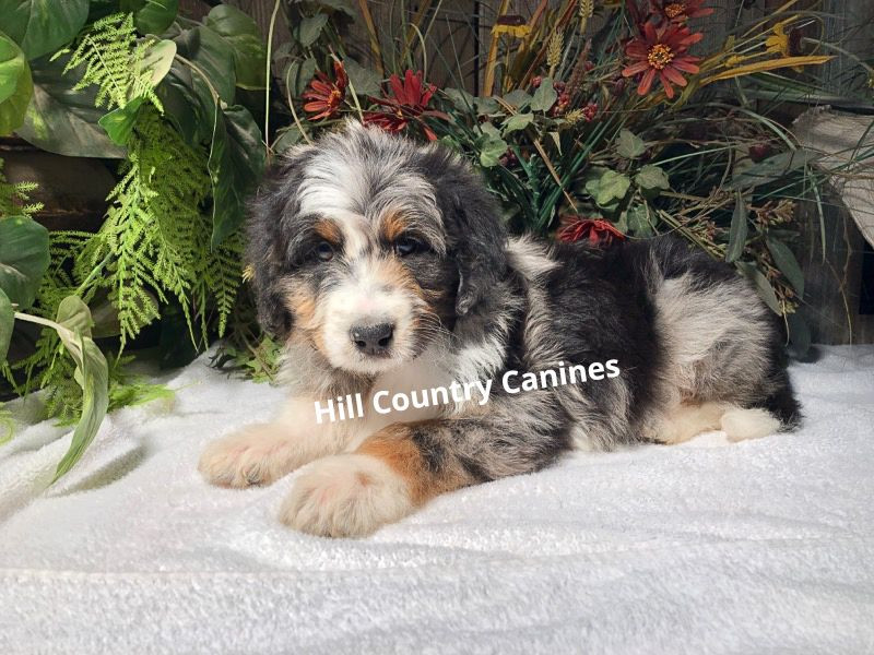 Aussiedoodle Puppies, Mason TX, Hill Country Canines
