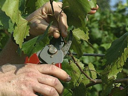 pruning-grape-vines.jpg