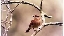 """Why """"Little Brown Bird""""?"""