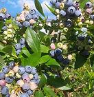 Lanni Orchards Jam Sessions Arlington Massachusetts MA local fruit farm