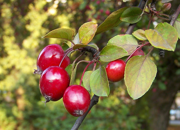 Crabapple Rose Jelly