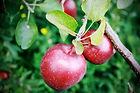 Carver Hill Orchard Jam Sessions Arlington Massachusetts MA local fruit farm