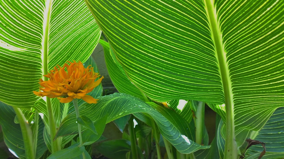 Canna leaves.jpg