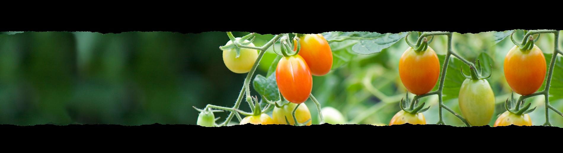 トマトイメージ_全幅.png