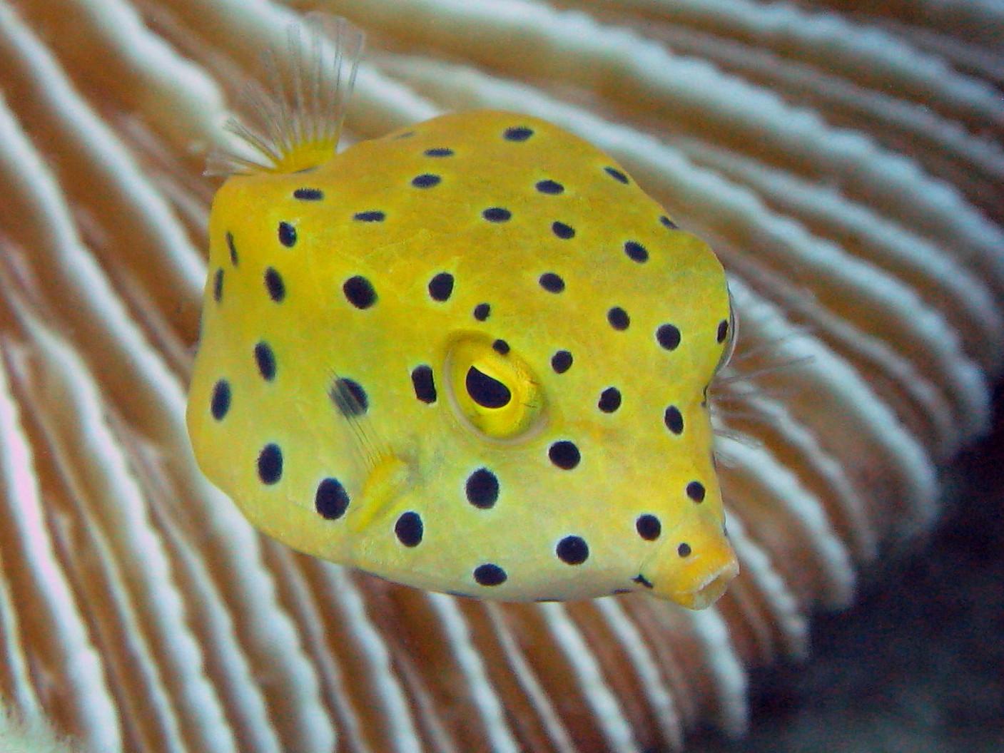 오키나와다이빙box fish 1