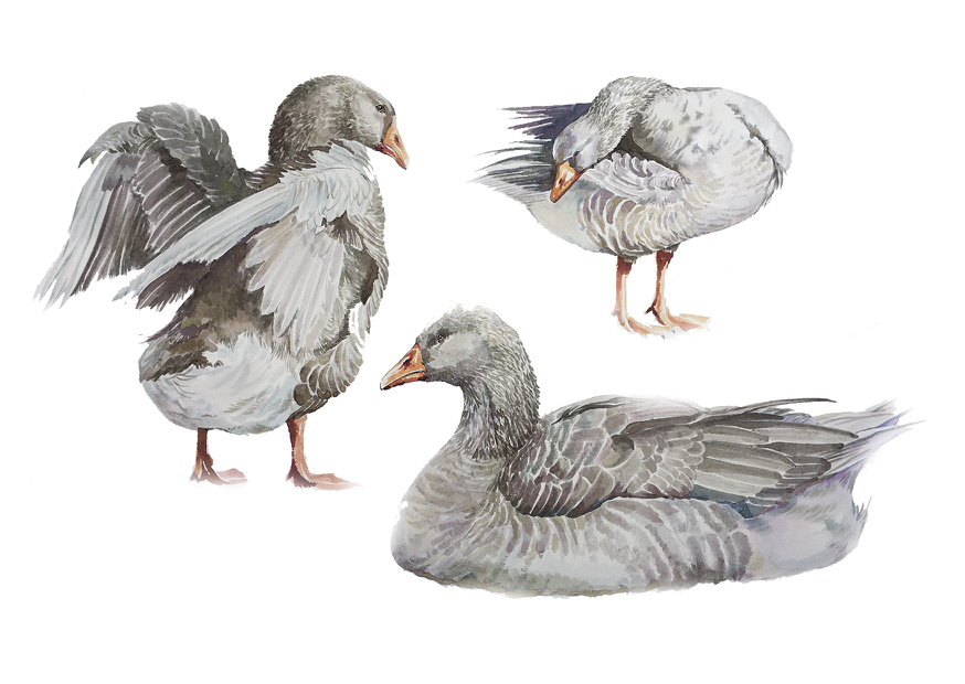Geese in Castletown Harbour