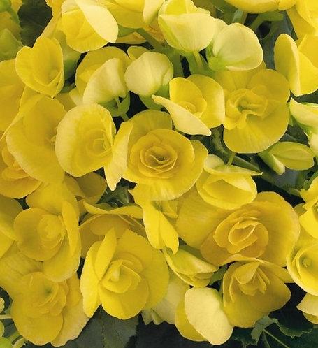 Amstel Begonia ~ 6in pot