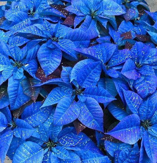 Blue Poinsettia - 7 inch pot