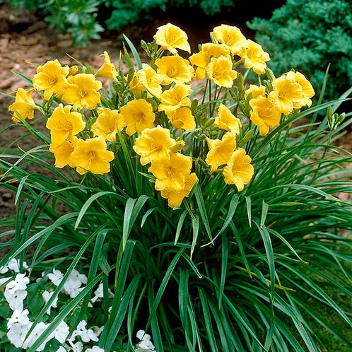 Stella D'Oro  Day Lily ~ Perennial 8in pot