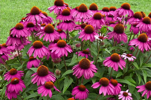 Cone Flower ~ Perennial 8in pot
