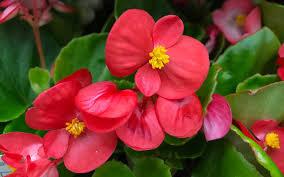 Wax Begonia ~ 6in pot
