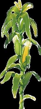 corn%20plant_edited.png