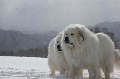 perro-montana-de-los-pirineos.jpg