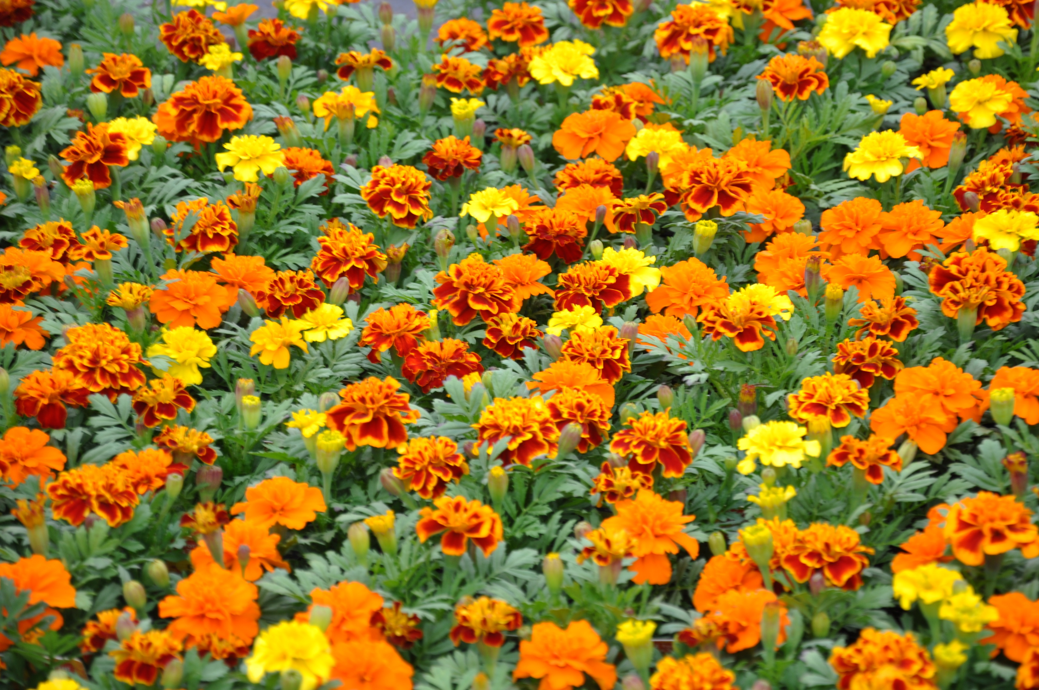 Mixed Marigolds