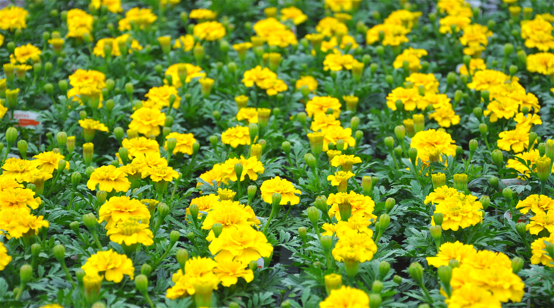 Yellow Tagetes