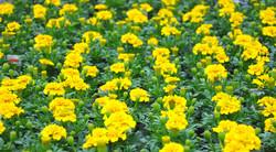 Yellow Tagetes