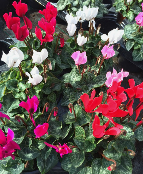 Mixed Cyclamen