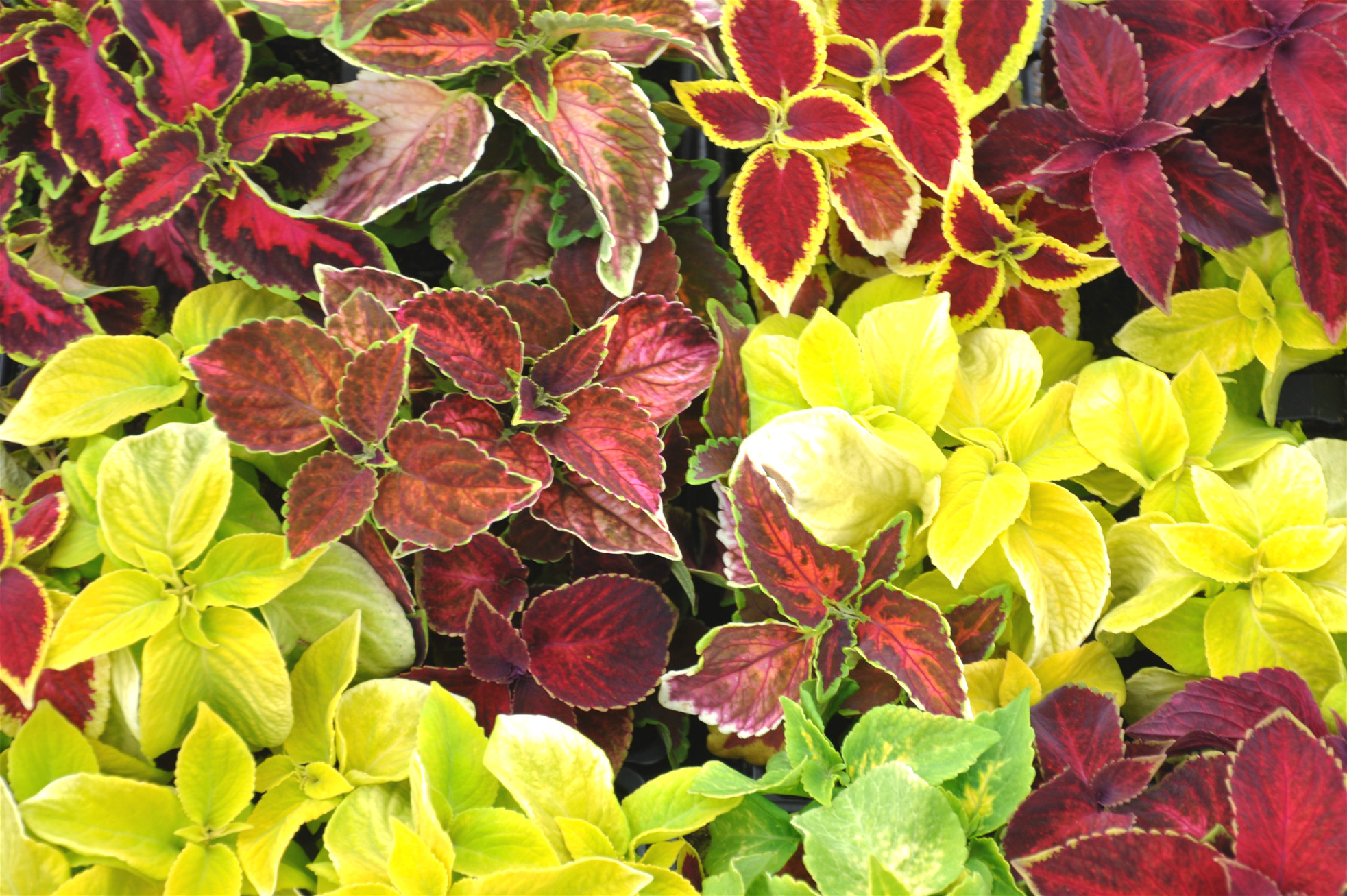 Mixed Coleus