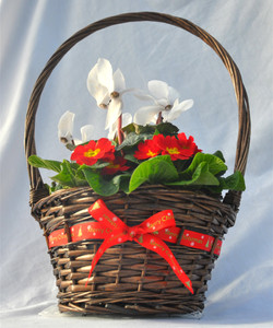 Christmas basket white cyclamen and prims 2