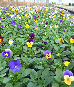 A field of colourful pansies!