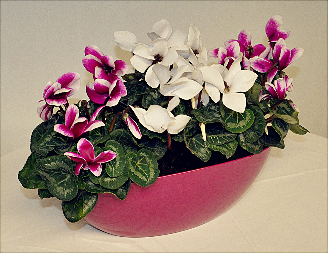 cerise cyclamen planter - Copy