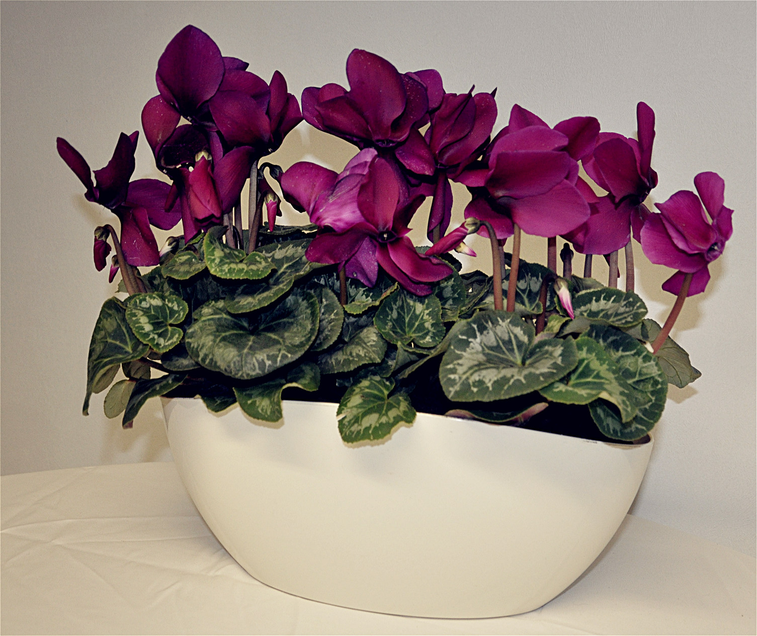 Cyclamen cream planter - Copy