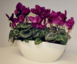 Cyclamen cream planter - Copy