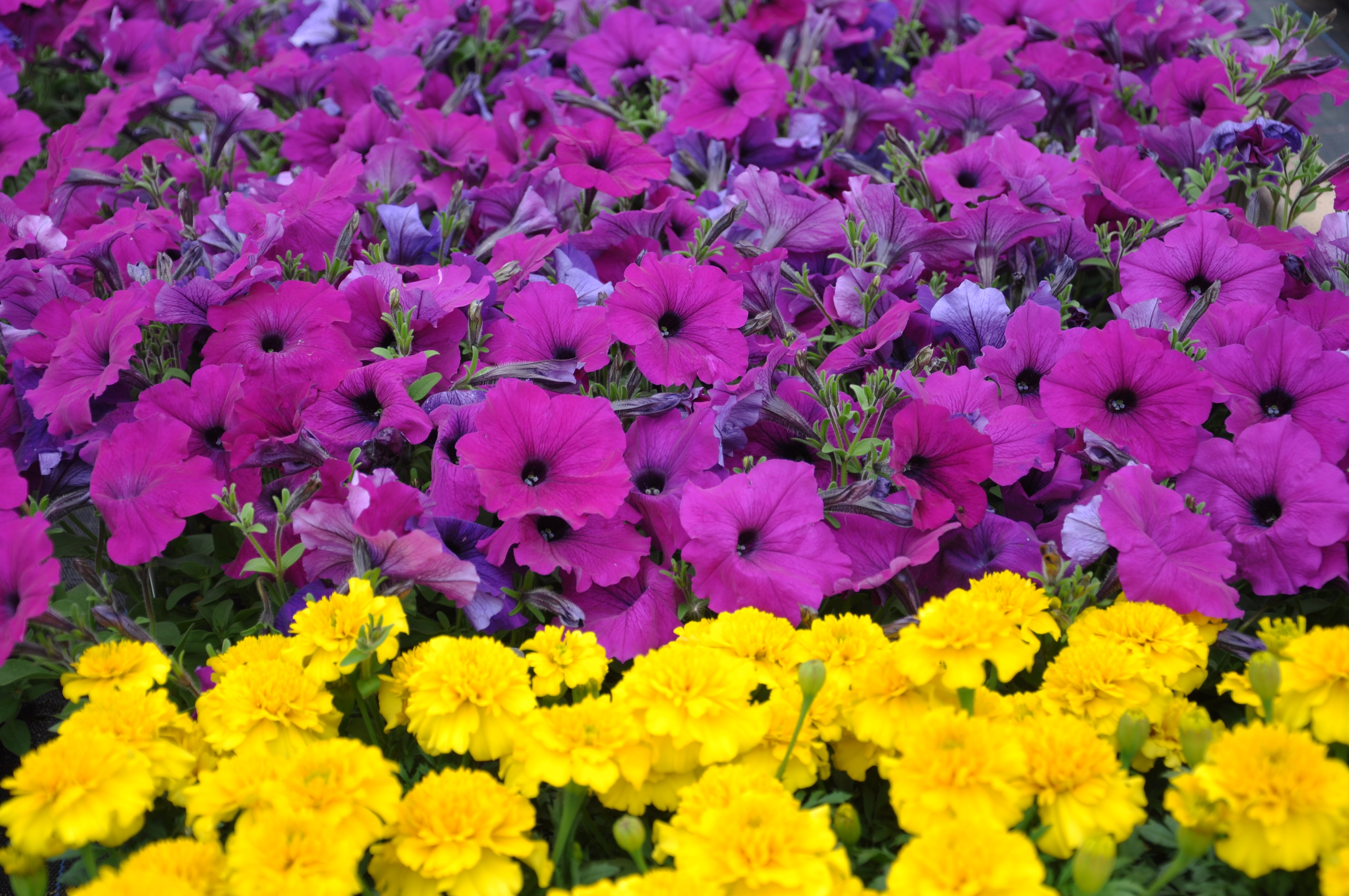 Petunia and Tagetes