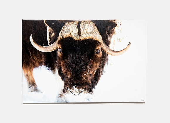 Musk Ox - ONLY 1 LEFT