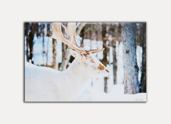 White Elk 2