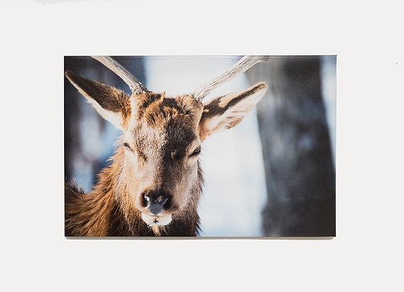 Red Deer Stare