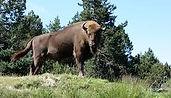 Bison d'europe.jfif